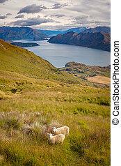 Landscape view of Lake Wanaka, mountains and sheep, NZ -...