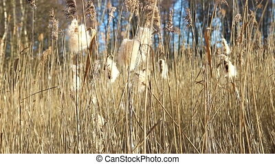 Wind dispersal of cattail seeds - Cattail seeds breaking off...