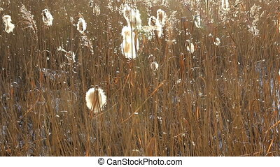 Wind dispersal of cattail seeds and water dripping - Cattail...