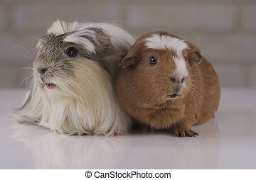 Guinea pigs breed Golden American Crested and Coronet cavy -...