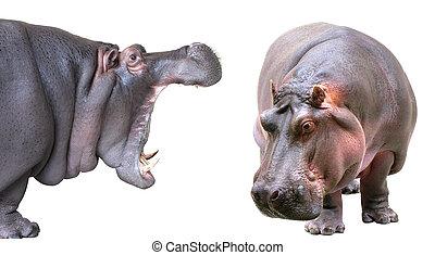 Hippopotamus isolated on white background - Hippopotamus...