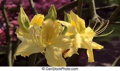 Close Up of yellow Azalea. - Japanese Garden in the spring