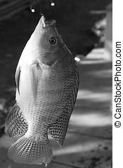 Fish Tilapia hanging hook black white