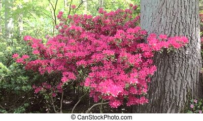 Zoom In on Red Azalea - Flowers in the garden