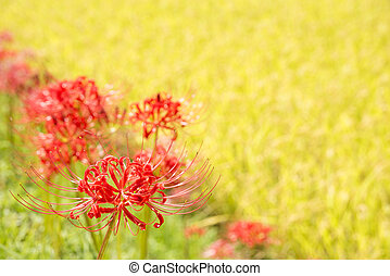 Red spider lily flowers in front of bright yellow blur