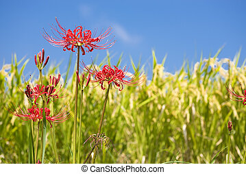 Red spider lily flower in front of lined rice ears under...