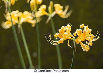 Golden spider lily flowers wet with rain