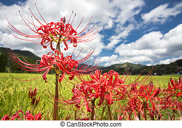 Close up red spider lily - Close up lined red spider lily...