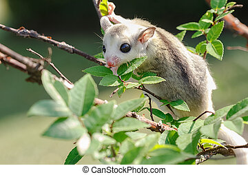 little platinum mosaic  sugar-glider in the branch