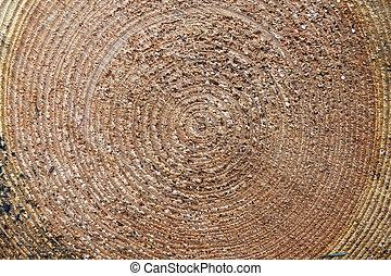 closeup of cut spruce tree trunk - closeup of rings of cut...
