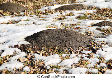 molehills and remnants of snow around them in early spring