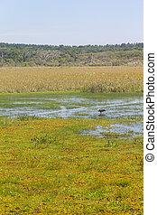 Maguari Stork at Swamp in Lagoa do Peixe lake - Maguari...