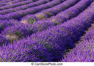 Lavender field summer landscape near...