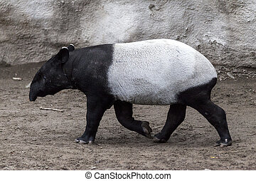 The male tapir runs along the trail to the waterhole. - The...