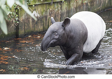 The male tapir swimming in a river in the jungle . - The...