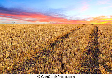 Big yellow field after harvesting and beautiful sky and...