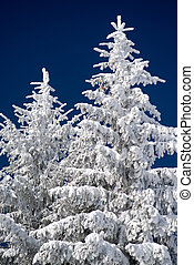 Snowy branches of fir tree and blue sky - Snowy fir trees...