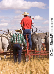 Two men are working a mule team in the wheat field.