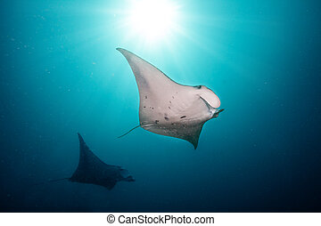 Beautiful big manta rays in deep blue ocean - Beautiful big...