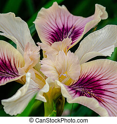 Iris Pacifica creamy royal purple flower