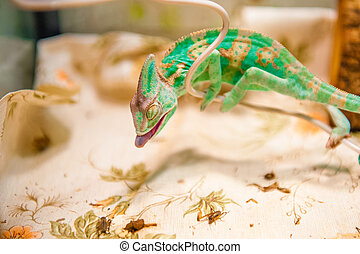 One Chameleon on the hunt - One yemen Chameleon on hunting...