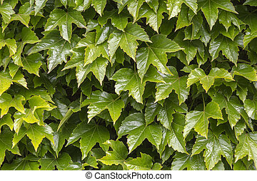 Green wall pattern of parthenocissus tricuspidata, close up