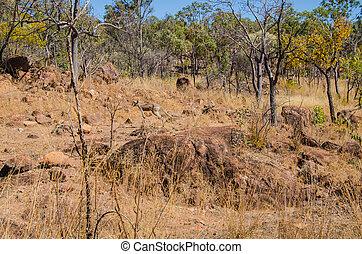 Känguru - Hüpfendes Känguru im Undara Volcanic National...