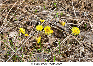 Coltsfoot - the first flowers of spring. Coltsfoot flowering...