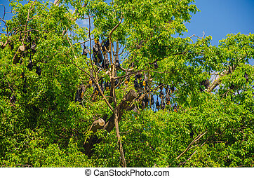 Die größten australische Fledermäuse: die Flughunde -...