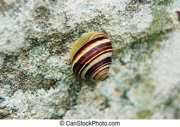 Garden snail (Helix aspersa) on rock in garden