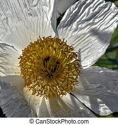 Romneya Poppy - White Romney Poppy flower