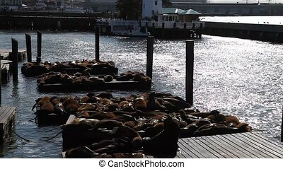 Sea lions San Francisco - Sea lions at Pier 39 a popular...