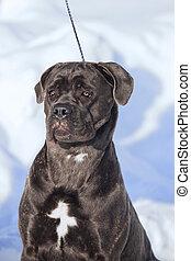 cane corso italiano dog winter portrait