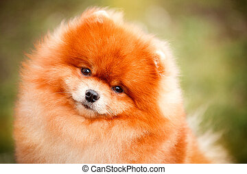 Pomeranian redhead in nature