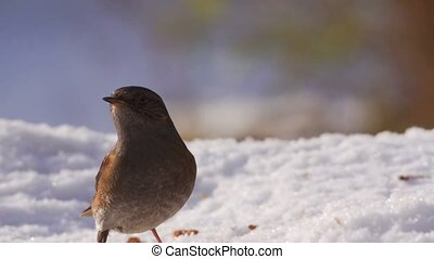 Dunnock in winter