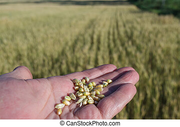 Agronomist is holding grain - Agronomist in the field of...