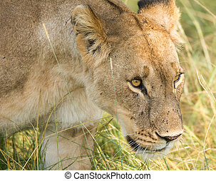 Lioness hunting in the tall grass, Serengeti National Park,...