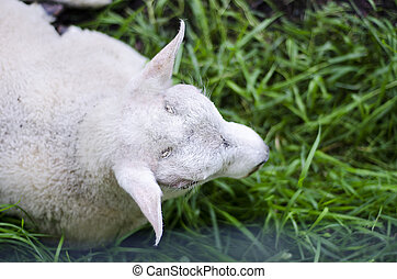 headview of a sheep