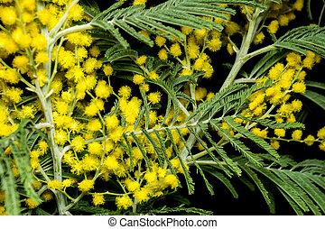 mimosa, chiudere, su