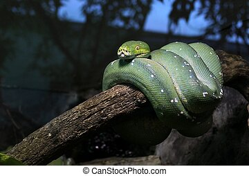 Green snake curled up, positioned on the tree branch