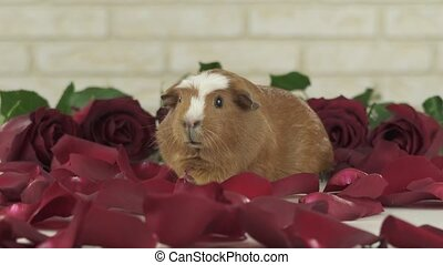 Petals of red roses fall to guinea pigs breed Golden...
