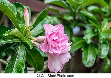 (adenium, fiore, o,  desert-rose),  obesum
