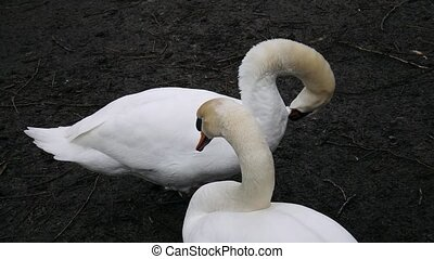 Two swans cleaning plumage