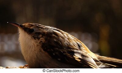 tree creeper close up