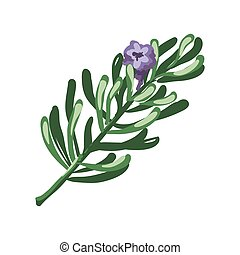 Rosemary branch and purple flower isolated on white. Rosmarinus officinalis