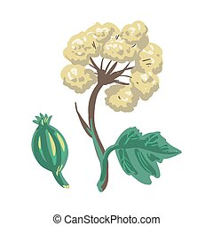 Lovage herbaceous, tall perennial plant isolated on white....