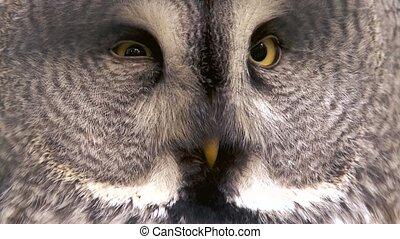 great grey owl closeup