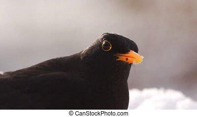 blackbird eating a apple