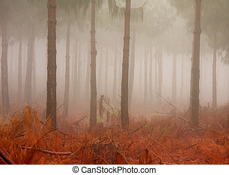 misty pine tree trunks with ground covered in red coloured...