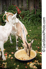 Two rustic goat - Adult white goat village and Alpine goat...